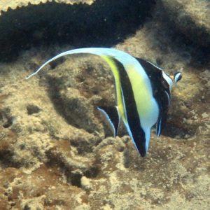 Zanclus cornutus - Nouvelle-Calédonie, Nouméa, Baie des Citrons