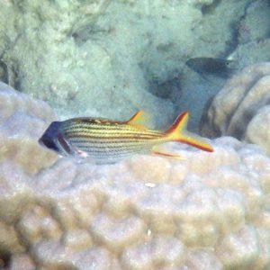 Neoniphon sammara - Nouvelle-Calédonie, Nouméa, Baie des Citrons