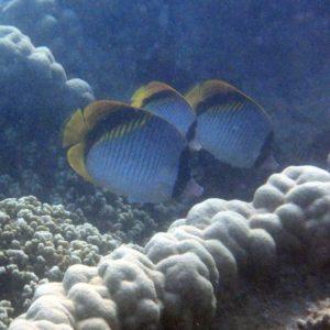 Poissons » Poisson-papillon » Chaetodon lineolatus