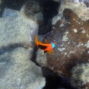 Poissons » Poisson-clown » Amphiprion melanopus