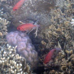 Myripristis amaena - Nouvelle-Calédonie, Nouméa, Baie des Citrons
