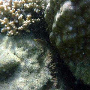 Poissons » Labre » Cheilinus chlorourus