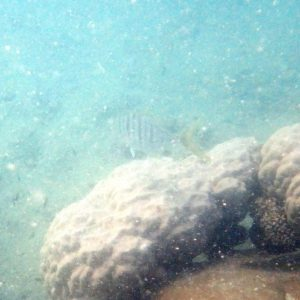 Poissons » Carangue » Gnathanodon speciosus