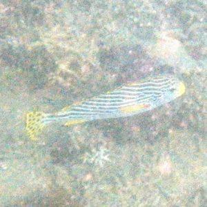Poissons » Castex et grosses lèvres » Plectorhinchus lineatus