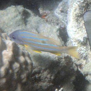 Lutjanus quinquelinatus - Nouvelle-Calédonie, Nouméa, Baie des Citrons