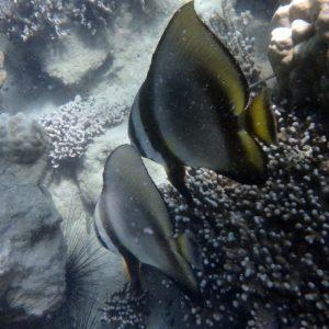 Platax orbicularis - Nouvelle-Calédonie, Nouméa, Baie des Citrons