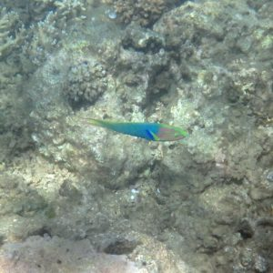 Poissons osseux » Labre » Thalassoma lutescens