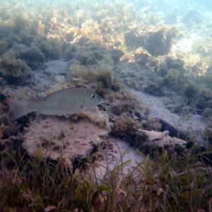Poissons osseux - Nouvelle-Calédonie, Îlot Maître
