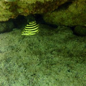 Poissons » Microcanthe » Microcanthus strigatus