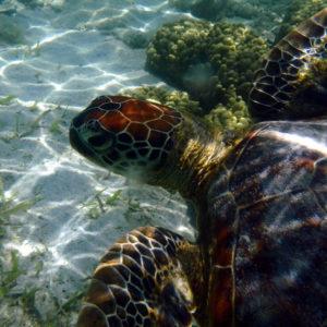 Chelonia mydas (tortue verte)