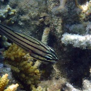 Cheilodipterus quinquelineatus - Nouvelle-Calédonie, Nouméa, Baie des Citrons