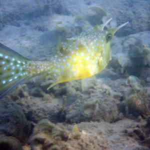 Lactoria cornuta - Nouvelle-Calédonie, Nouméa, Baie des Citrons