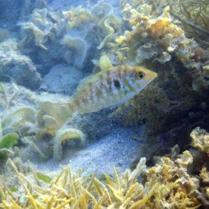Lethrinus genivittatus - Nouvelle-Calédonie, Nouméa, Baie des Citrons