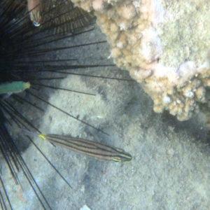 Poissons » Poisson-cardinal » Cheilodipterus quinquelineatus