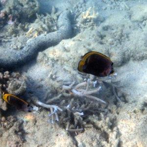 Poissons osseux » Poisson-papillon » Chaetodon flavirostris