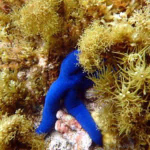 Échinodermes » Étoile de mer » Linckia laevigata