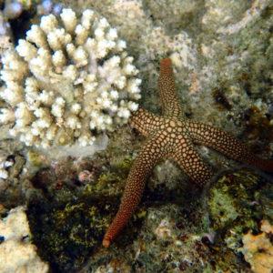 Échinodermes » Étoile de mer » Nardoa novaecaledoniae