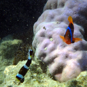Poissons » Poisson-clown » Amphiprion akindynos » Amphiprion melanopus