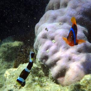 Poissons osseux » Poisson-clown » Amphiprion akindynos » Amphiprion melanopus