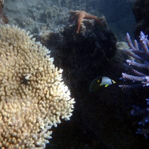 Poissons osseux » Poisson-papillon » Chaetodon trifascialis