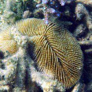 Cnidaires » Coraux durs » Fungia