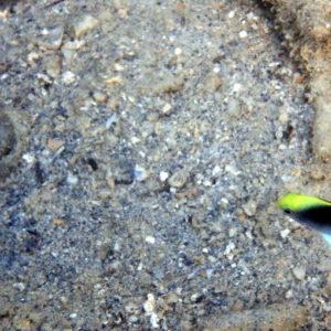 Poissons » Poisson-demoiselle » Chrysiptera rollandi