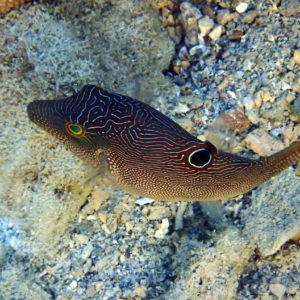 Poissons » Canthigaster » Canthigaster compressa