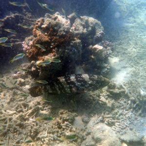 Poissons osseux » Loche » Epinephelus coioides