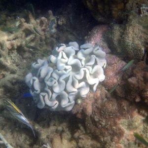 Cnidaires » Corail mou (alcyonaire) » Sarcophyton