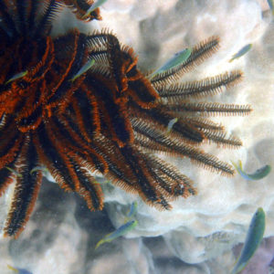 Comanthus bennetti - Nouvelle-Calédonie, Nouméa, Baie des Citrons