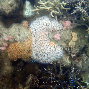 Cnidaires » Corail dur (scleractiniaire)