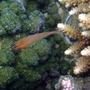 Poissons » Poisson-cardinal » Ostorhinchus cyanosoma