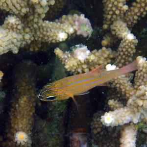 Ostorhinchus cyanosoma - Nouvelle-Calédonie, Nouméa, Baie des Citrons