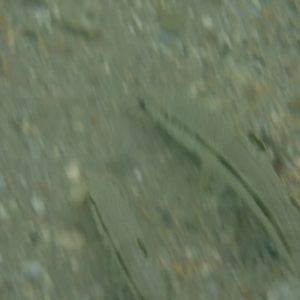 Poissons osseux » Rouget-barbet » Upeneus tragula