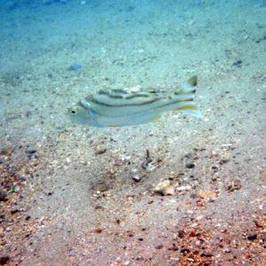 Terapon jarbua - Nouvelle-Calédonie, Nouméa, Baie des Citrons