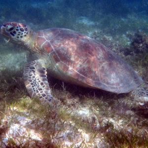 Reptiles » Tortue » Chelonia mydas (tortue verte)