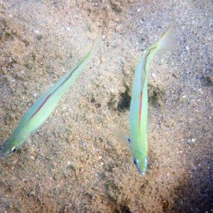 Poissons osseux » Poisson-fléchette » Ptereleotris microlepis