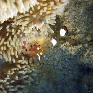 Crustacés » Crevette » Periclimenes brevicarpalis