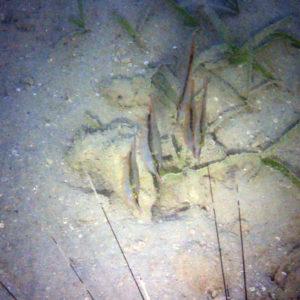 Poissons osseux » Poisson-couteau » Aeoliscus strigatus
