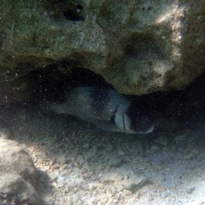 Poissons » Castex et grosses lèvres » Plectorhinchus gibbosus