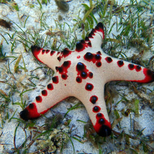 Échinodermes » Étoile de mer » Protoreaster nodosus