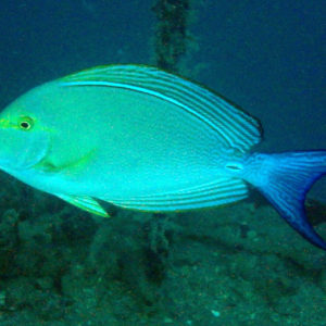 Poissons osseux » Poisson-chirurgien » Acanthurus xanthopterus