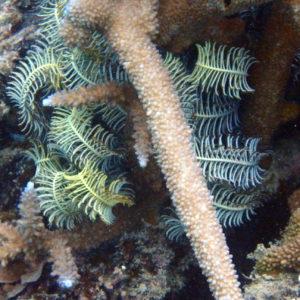 Crinoïde - Nouvelle-Calédonie, Nouméa, Sèche croissant