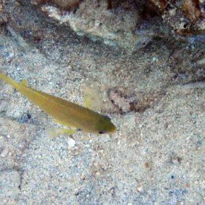 Poissons » Poisson-demoiselle » Pomacentrus amboinensis