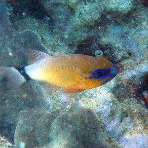 Ostorhinchus aureus - Nouvelle-Calédonie, Nouméa, Sèche croissant