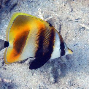 Poissons » Poisson-papillon » Coradion altivelis