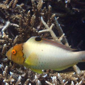 Cetoscarus ocellatus - Nouvelle-Calédonie, Nouméa, Sèche croissant