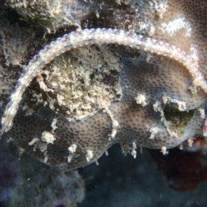 Poissons » Poisson-pipe » Corythoichthys ocellatus