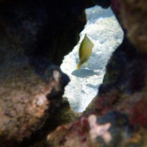 Poissons » Poisson-demoiselle » Amblyglyphidodon aureus