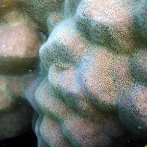 Poissons » Poisson à trois nageoires » Norfolkia brachylepis